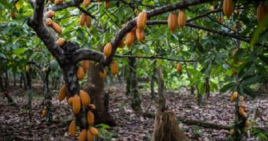 cocofarm Ghana